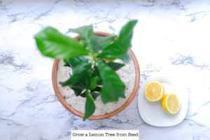 How to Grow a Meyer Lemon Tree from a Seed Indoors | Simply Living NC (3)