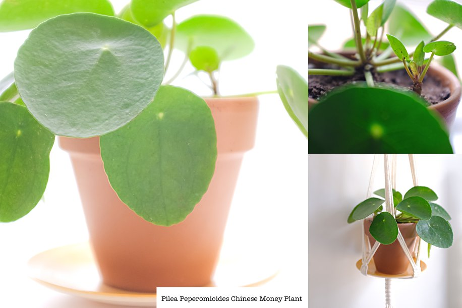 Pilea Peperomioides Chinese Money Plant | The Trendy Plant | Simply Living NC