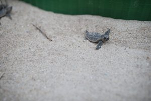 Sea Turtle Loggerhead hatchlings nests in North Carolina | Simply Living NC