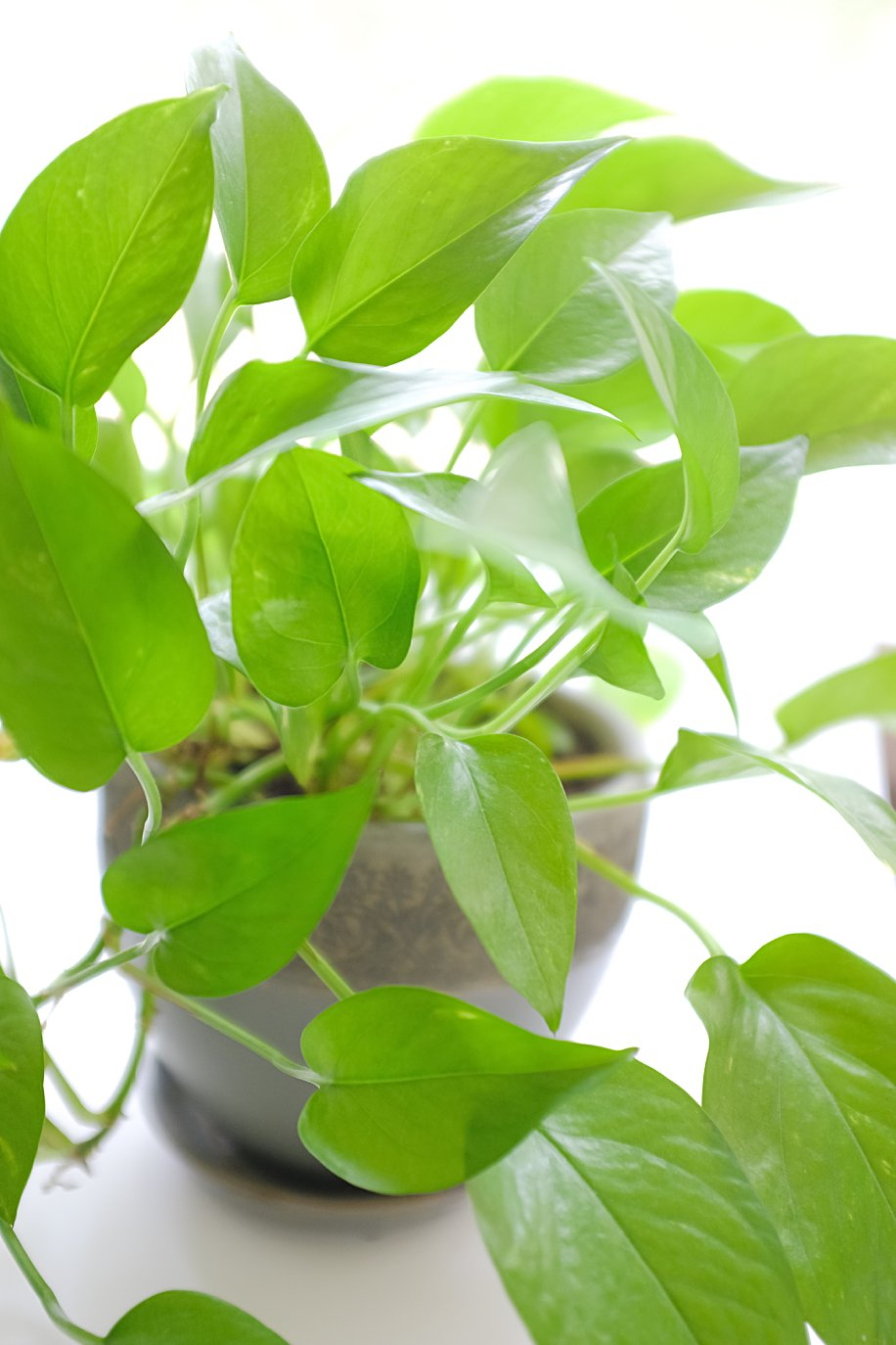 Pothos Houseplants Easy Low Light Plant | Simply Living NC