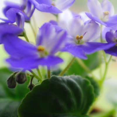 African Violet Houseplant Easy Care Guide