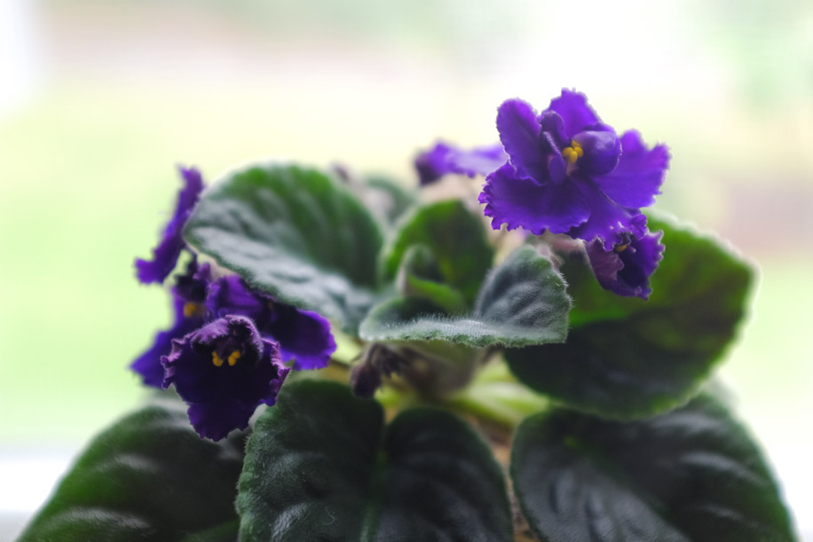 African Violet Houseplant Easy Care Guide | Simply Living NC