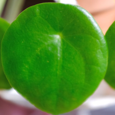 Pilea Peperomioides Dying How to Revive & Care