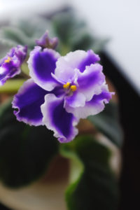 African Violet is Dying How to Revive & Care | Simply Living NC