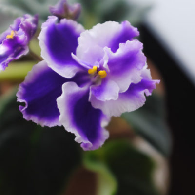 African Violet is Dying How to Revive & Care