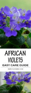 African Violet Easy Care Guide Simply Living NC