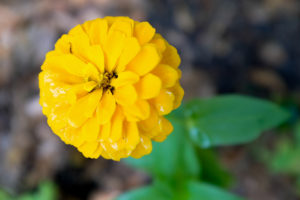 Zinnias; Your Guide to The Colors of Summer | Simply Living NC