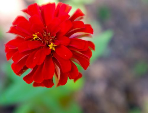 Zinnias; Your Guide to The Colors of Summer