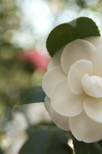 Camellias; the Southern Shade Loving Evergreen   Simply Living NC