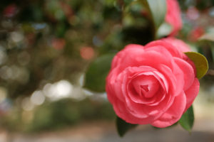 Camellias; the Southern Shade Loving Evergreen | Simply Living NC