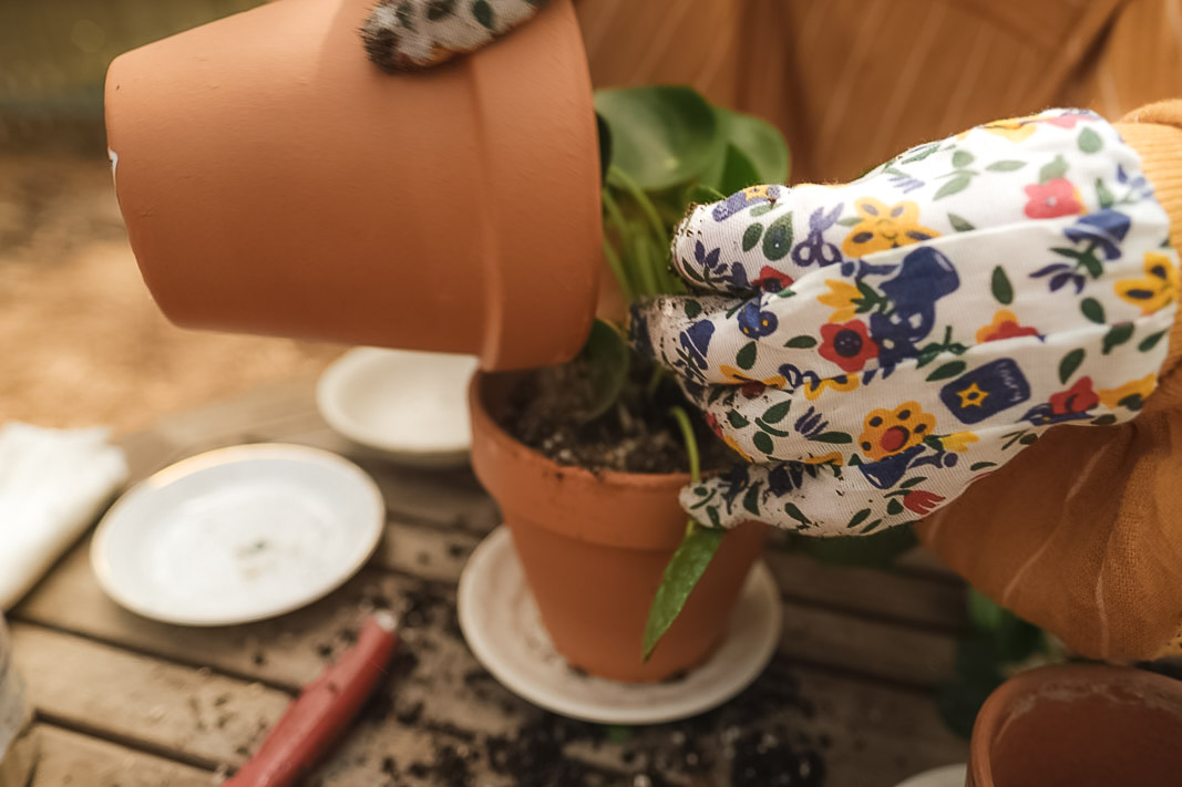 Pilea Peperomioides Online Order Unboxing, Repotting,  Propagation blog video | Simply Living NC