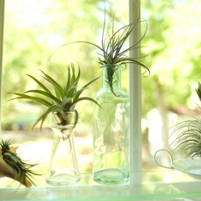 Air Plant Simple Care Guide of the Tillandsia