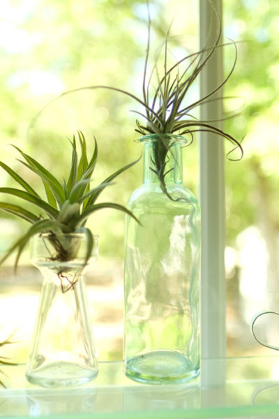 Air Plant Simple Care Guide of the Tillandsia | Simply Living NC