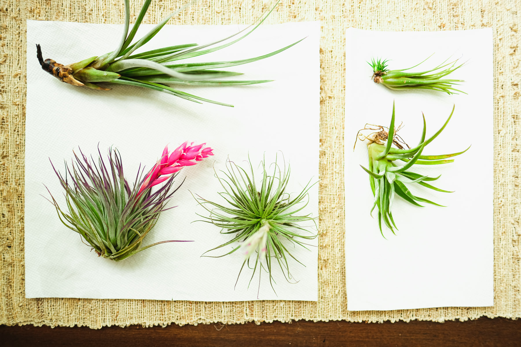 Types of Air Plants in the Tillandsia Family Simply Living NC