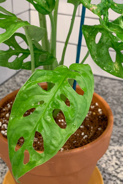monstera swiss cheese vine logee's unboxing, care and fungus gnat prevention - Simply Living NC