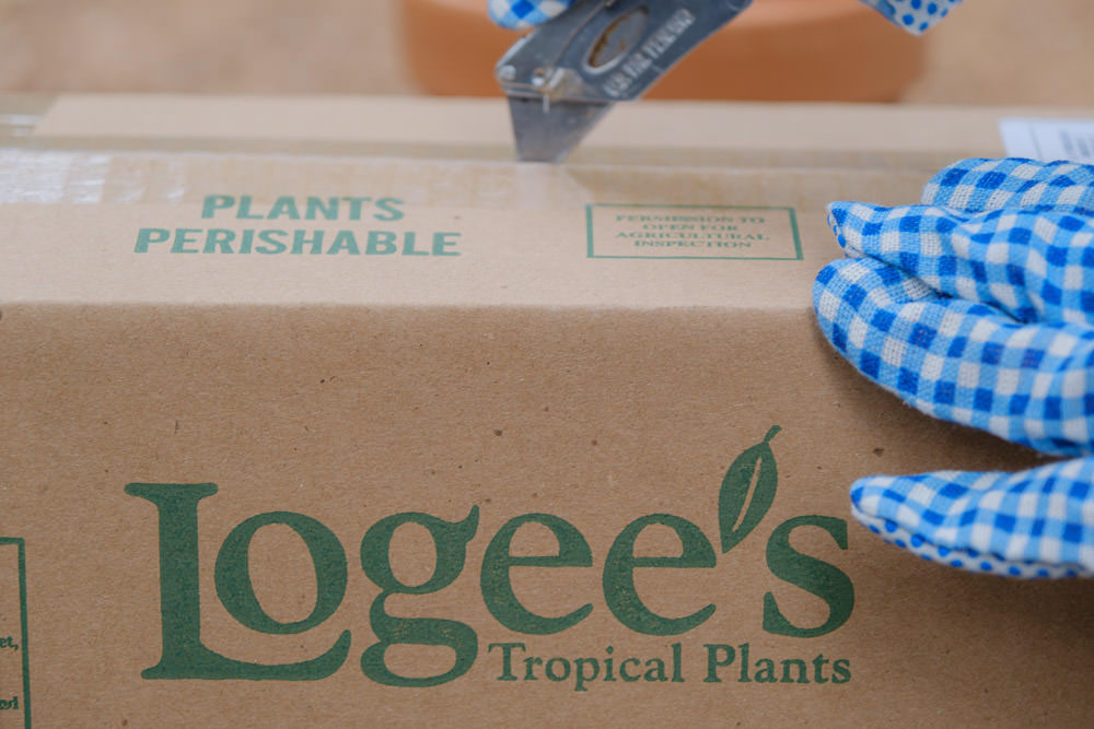 Monstera Vine Swiss Cheese Plant (Monstera adansonii) Logee's Unboxing, Care & Fungus Gnat Prevention | Simply Living NC