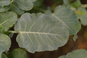 Broccoli Leaves, How to Harvest, Steam & Eat; grow your own food   Simply Living NC