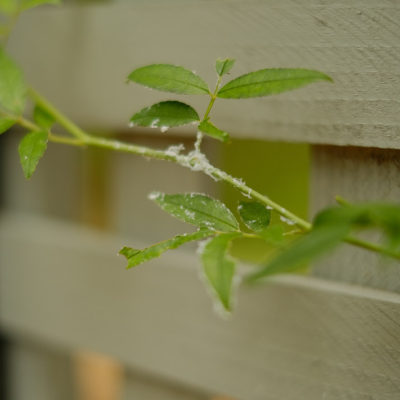 Whiteflies on Your Garden Plants & Houseplants; how get rid of pests with my 5 Step Solution