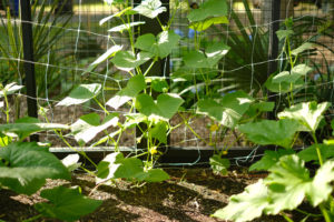 How to Grow Pickling Cucumbers on a Simple Trellis | Simply Living NC