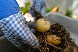 How to Grow Potatoes in Bags, Containers and Small Spaces Simply Living NC