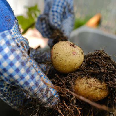 How to Grow Potatoes in Bags, Containers and Small Spaces