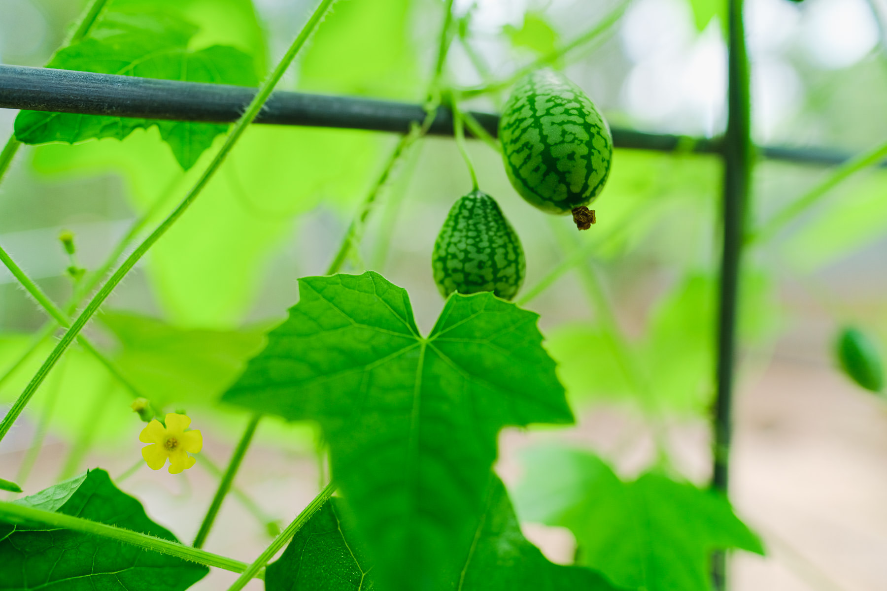 What is a Cucamelon Simply Living NC