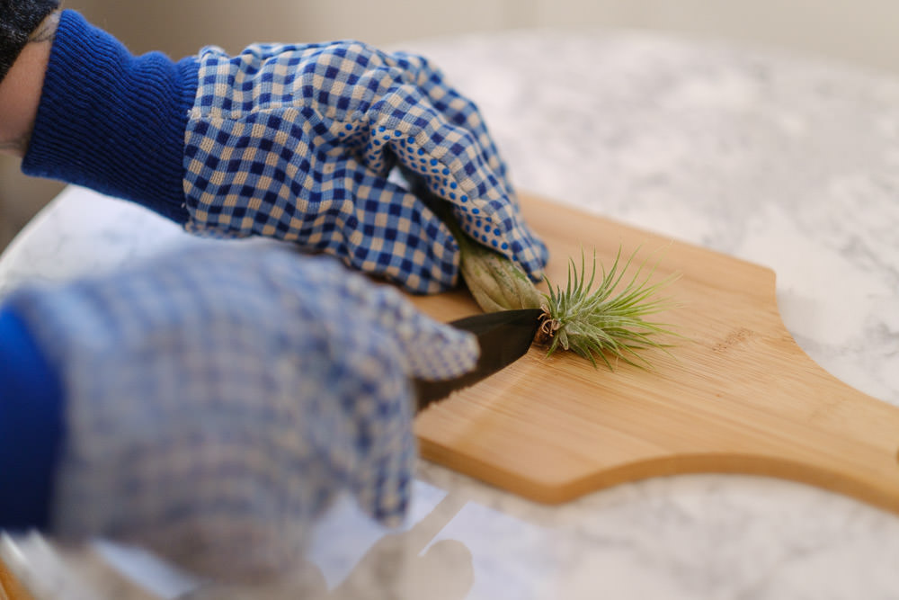 How to Propagate Air Plants Simply Living NC